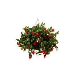Large Fuchsia Hanging Basket in Red