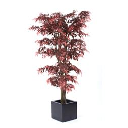 Red Maple Aralia Tree