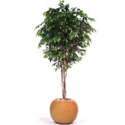 Large Handmade Ficus Tree