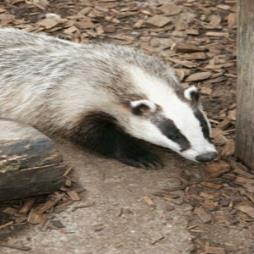 Badger Surveys and Services Burgess Hill