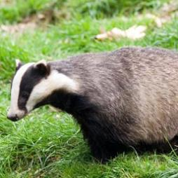 Badger Surveys From Adonis Ecology