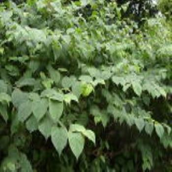Japanese Knotweed & Reform of Anti-Social Behaviour Powers